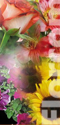 florcom srl vendita semi vendita bulbi fiori recisi